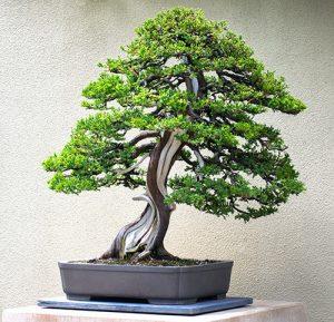 Bonsai-300x289-1
