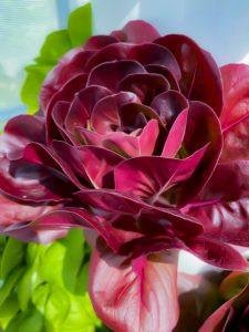 Purple-lettuce-April-20-225x300-1